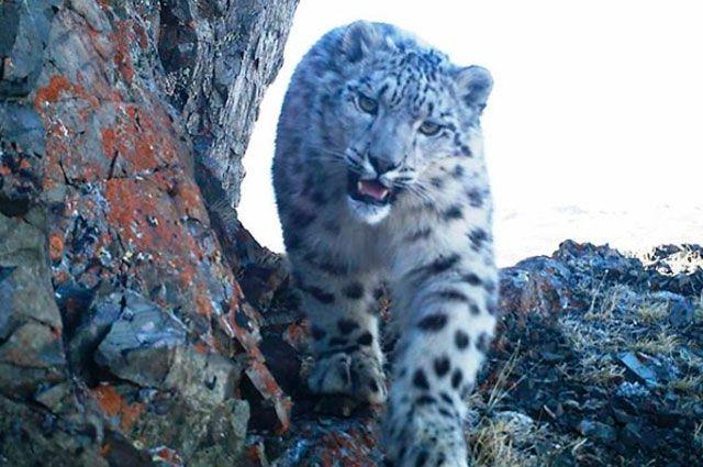 WWF: Нa стрaжe снежного барса (Туризм)